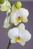 Zwei Orchideen-Blumen Lizenzfreies Stockbild