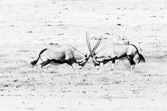 Zwei Oryx Fighting einfarbig stockbild