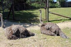 Zwei ostrichs Lizenzfreie Stockfotos