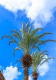 Zwei Palmen gegen blauen Himmel stockfoto