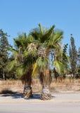 Zwei Palmen neben der Straße auf einem Hintergrund von anderem mit tiefem blauem Himmel Lizenzfreie Stockfotos
