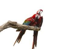 Zwei Papageien Stockbild