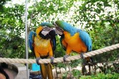Zwei Papageien auf einer Niederlassung stehen in Verbindung stockbild