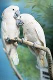 Zwei Papageien, die auf einer Niederlassung sitzen Lizenzfreie Stockfotos