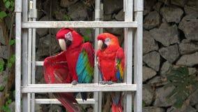 Zwei Papageien, die in der Stange stillstehen stock video