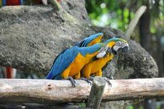 Zwei Papageienvögel stockbild