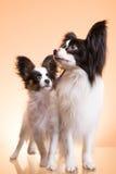 Zwei papillon Hunde auf rosa Hintergrund stockfoto