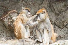 Zwei patas Affe, einer den anderen pflegend Stockfotos