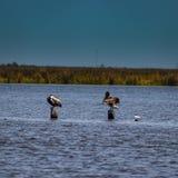Zwei Pelikane auf Beiträgen lizenzfreies stockfoto