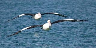 Zwei Pelikane, die in Bildung fliegen Lizenzfreie Stockfotos