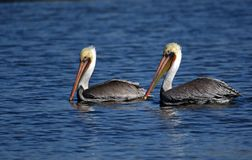 Zwei Pelikane im Fluss San Juan Lizenzfreies Stockfoto