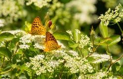 Zwei Perle Crescent Butterflies In Summer Garden Stockbild