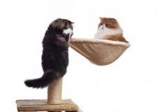 Zwei persische Katzen unterschiedlicher Farbton Lizenzfreies Stockfoto