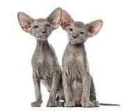 Zwei Peterbald-Kätzchen, Katzen, lokalisiert stockfotos
