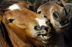 Zwei Pferde Lizenzfreies Stockbild
