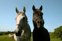 Zwei Pferde Stockbild