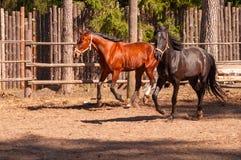 Zwei Pferde Lizenzfreies Stockfoto