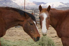 zwei Pferde Lizenzfreie Stockfotos