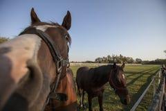 Zwei Pferde auf der Ranch lizenzfreies stockbild