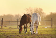 Zwei Pferde auf Ranch stockfotografie
