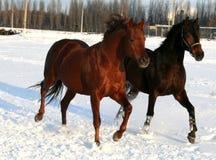 Zwei Pferde auf Schnee Stockfotos