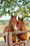 Zwei Pferde in der Koppel Stockfotografie