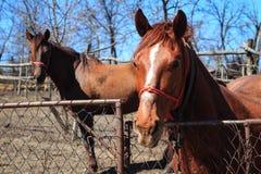 Zwei Pferde in der Landschaft Stockbild