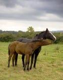 Zwei Pferde in der Liebe Lizenzfreie Stockfotografie
