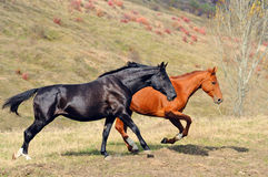 Zwei Pferde, die auf dem Gebiet galoppieren Stockbilder