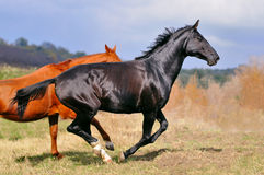 Zwei Pferde, die auf dem Gebiet galoppieren Stockfotos