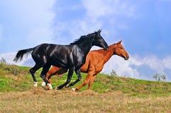 Zwei Pferde, die auf dem Gebiet galoppieren Stockfoto
