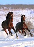 Zwei Pferde, die auf dem Gebiet galoppieren Stockfotografie