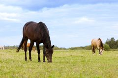 Zwei Pferde, die auf einer Weide weiden lassen Stockfotografie