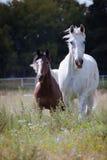 Zwei Pferde, die in der Blumenwiese weiden lassen Lizenzfreies Stockbild