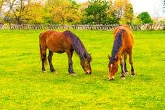 Zwei Pferde, die in einer Wiese weiden lassen Lizenzfreie Stockbilder