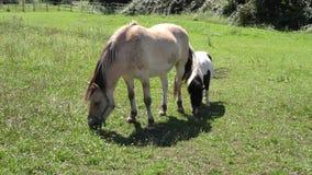 Zwei Pferde, die in einer Wiese weiden lassen stock video