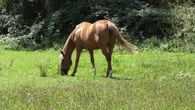 Zwei Pferde, die in einer Wiese weiden lassen stock footage