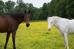Zwei Pferde, die Kamera betrachten Stockfotografie