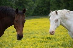 Zwei Pferde, die Kamera betrachten Stockfotos