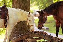 Zwei Pferde, die nach einer Fahrt sich entspannen Lizenzfreie Stockfotografie
