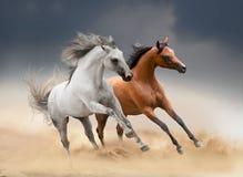 Zwei Pferde, die in Wüste laufen stockfoto