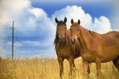 Zwei Pferde, die zusammen stehen und Kamera betrachten Stockbild