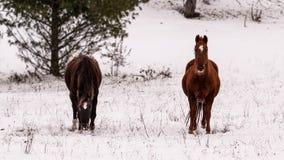Zwei Pferde in einem schneebedeckten Park Stockfotografie