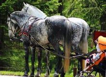 Zwei Pferde im Geschirr Stockfotos