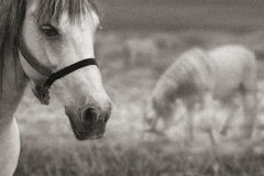 Zwei Pferde im Sepia Stockfotos