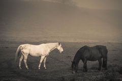 Zwei Pferde im tiefen Nebel Stockfotos