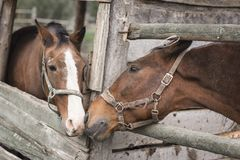 Zwei Pferde küssen lizenzfreie stockbilder