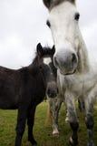 Zwei Pferde, Mutter und Kind Lizenzfreies Stockbild