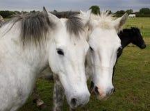 Zwei Pferde vertraulich Stockfotos