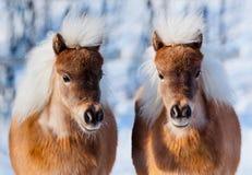 Zwei Pferdeköpfe im Winterwald. Stockbild
